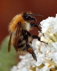 220px-Bumblebee_closeup