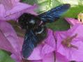 Calabrone nero